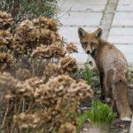 Fuchs vor der Haustür. Bild: Erik-Jan Ouwerkerk