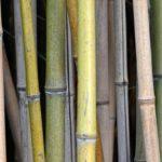 Bambus als nachwachsender Rohstoff ist anfällig für Schimmelpilze