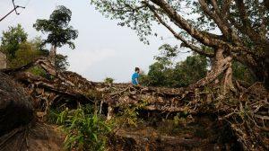 Lebende Brücken aus den verschlungenen Luftwurzeln des Gummibaums Ficus elastica sind mechanisch äußerst stabil. Bild: F. Ludwig
