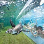Im SpreeweltenBad können die Besucher direkt neben Pinguinen schwimmen – eine europaweit einzigartige Attraktion. Bild: Spreewelten GmbH